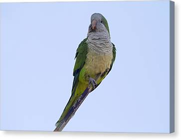 Monk Parakeet  Canvas Print by Chris Smith