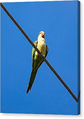 Monk Parakeet Canvas Print by Rich Leighton