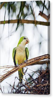 Monk Parakeet Canvas Print by Science Photo Library