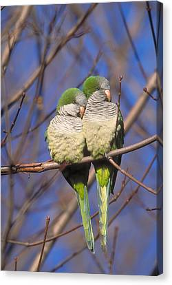 Parakeet Canvas Print - Monk Parakeets by Paul J. Fusco