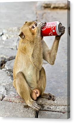 Monkey Enjoys Drinking Canvas Print