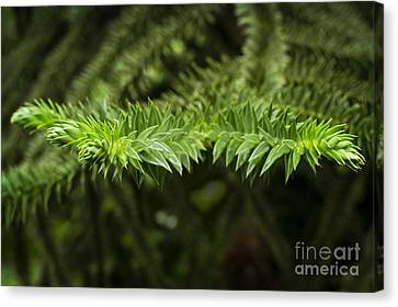 Canvas Print featuring the photograph Monkey Puzzle by Maria Janicki