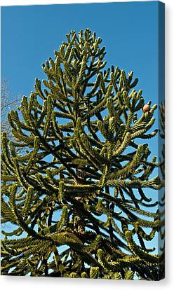 Monkey Puzzle Tree E Canvas Print by Tikvah's Hope
