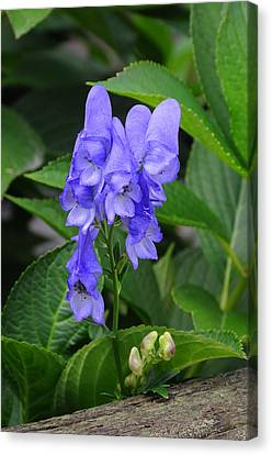 Canvas Print featuring the photograph Monkshood Blossom by Paul Miller