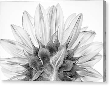 Monochrome Sunflower Canvas Print by Stelios Kleanthous
