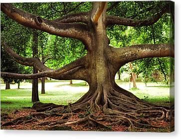 Monster Tree. Old Fig Tree In Peradeniya Garden. Sri Lanka Canvas Print by Jenny Rainbow