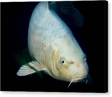 Monster White Koi Face To Face Canvas Print by Jean Noren