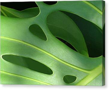 Philodendron Canvas Print - Monstera by James Temple