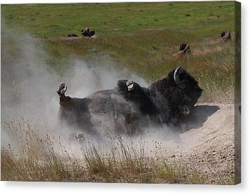 Montana Bison 1 Canvas Print by T C Brown