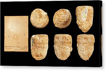 Montlivaltia Canvas Print by Natural History Museum, London