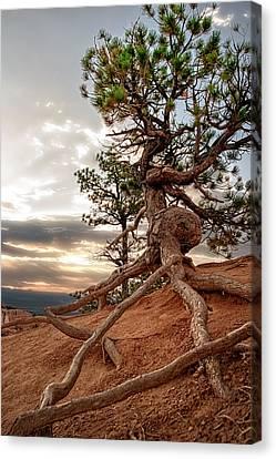 Canvas Print - Monumental Ponderosa Pine  by R J Ruppenthal