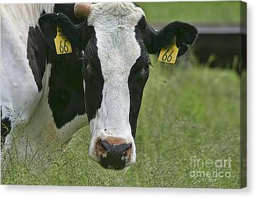 Moo Moo Eyes Canvas Print by Deborah Benoit