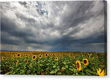 Canvas Print featuring the photograph Moody Skies Over The Sunflower Fields by Ronda Kimbrow