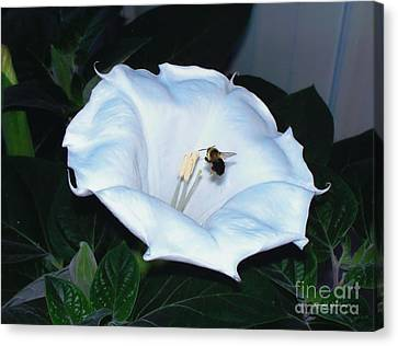 Canvas Print featuring the photograph Moon Flower by Thomas Woolworth