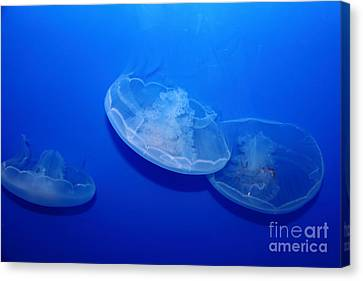 Moon Jelly Fish 5d24936 Canvas Print by Wingsdomain Art and Photography