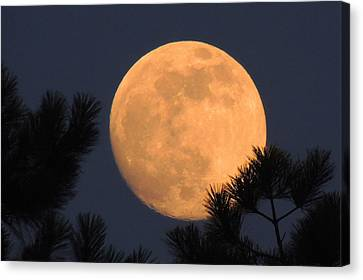 Canvas Print featuring the photograph Moon Pines by Charlotte Schafer
