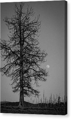 Moon Tree Canvas Print by Jan Davies