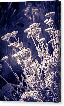 Canvas Print featuring the photograph Moonlight Yarrow by Dave Garner