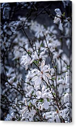 Moonlit Blossoms Canvas Print by HD Connelly