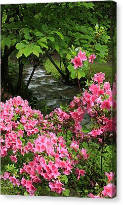 Canvas Print featuring the photograph Moonshine Creek Rhododendron Bloom - North Carolina by Mountains to the Sea Photo
