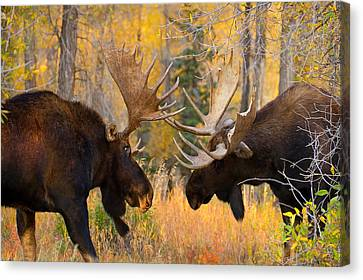 Moose Battle Canvas Print by Aaron Whittemore