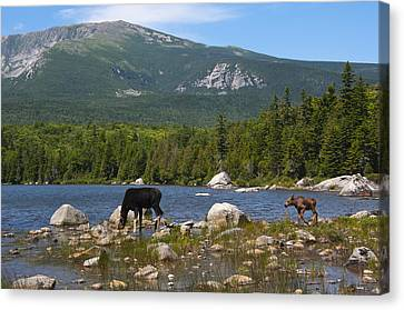 Moose Baxter State Park Maine Canvas Print