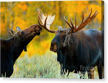 Canvas Print featuring the photograph Moose Be Love by Aaron Whittemore