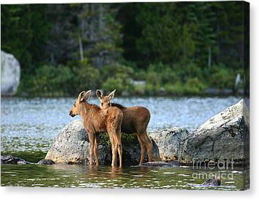 Moose Calves In Maine Canvas Print by Jeannette Hunt