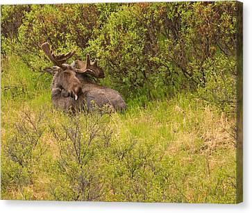 Moose Cleaning Itself Canvas Print