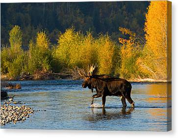 Canvas Print featuring the photograph Moose Crossing by Aaron Whittemore
