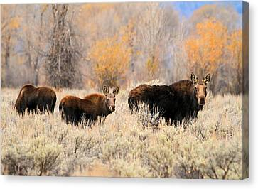 Moose Canvas Print by Donna Kennedy