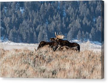 Canvas Print featuring the photograph Moose Family Pride by Yeates Photography