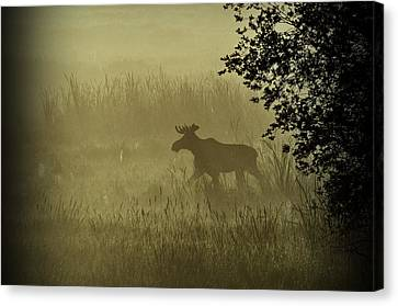 Moose In The Mist Canvas Print by Annie Pflueger