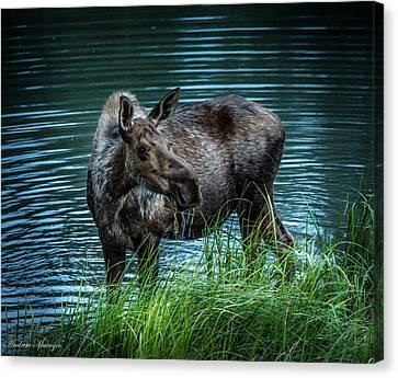 Moose In The Water Canvas Print by Andrew Matwijec