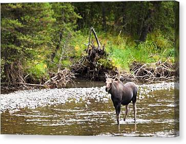 Canvas Print featuring the photograph Moose In Yellowstone National Park   by Lars Lentz