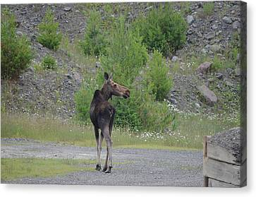 Canvas Print featuring the photograph Moose by James Petersen