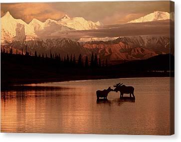 Moose Kissing In Wonder Lake Denali Np Canvas Print by Ron Sanford