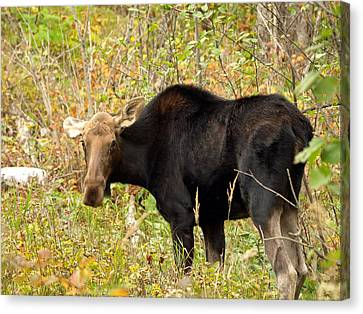 Canvas Print featuring the photograph Moose by James Peterson