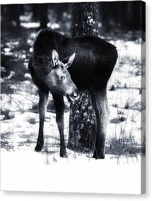 Canvas Print featuring the photograph Moose by Rose-Maries Pictures