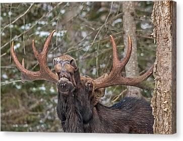 Moose Teeth Canvas Print