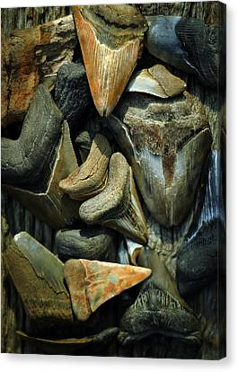 More Megalodon Teeth Canvas Print by Rebecca Sherman