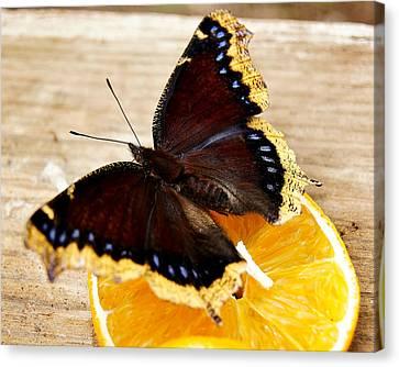 Morning Cloak Butterfly Canvas Print by Carol Toepke