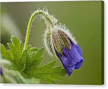 Morning Cranesbill  Canvas Print