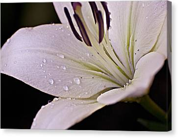 Passion Canvas Print - Morning Dew by Christopher Gaston