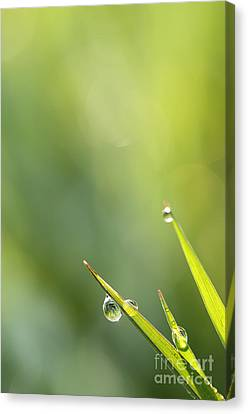 Morning Dew On Grass Canvas Print by LHJB Photography