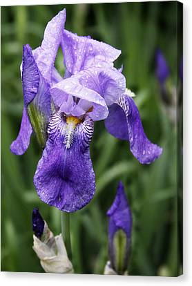 Morning Dew On The Iris Canvas Print by Larry Capra