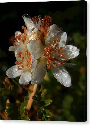 Morning Dew Canvas Print by Pamela Walton