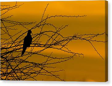 Big Blue Marble Canvas Print - Morning Dove by Kelly Gibson