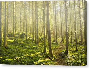 Morning Fog In The Forest Canvas Print