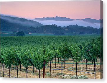 Morning Fog Over Vineyards In The Alexander Valley  Canvas Print by Gary Crabbe